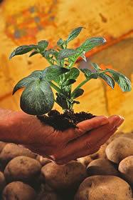 potato_plant-3